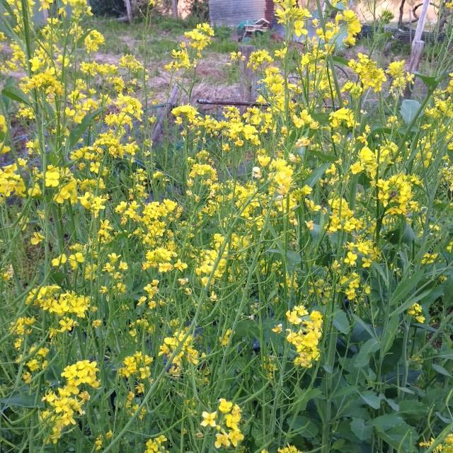 いろいろな菜の花