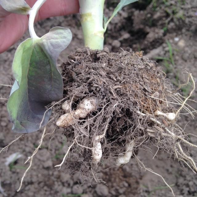 うまく成長しなかったブロッコリーの根っこ