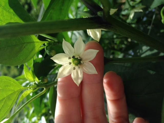 ピーマンの花 花びら7枚