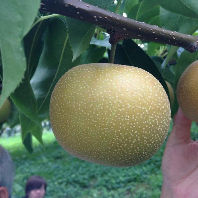 出荷に適した熟度の梨