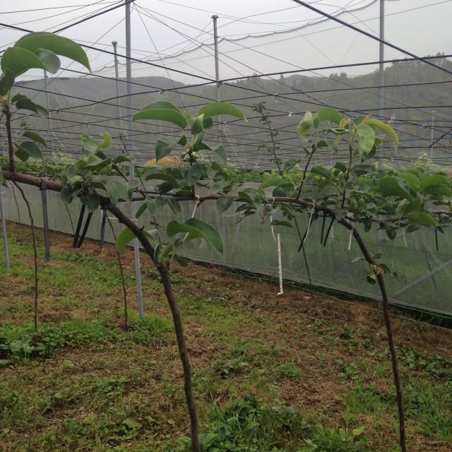 梨のジョイント栽培
