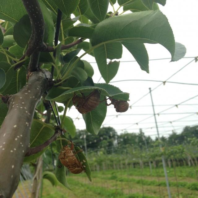 梨畑はとくに蝉が多い