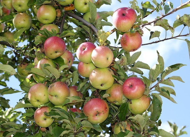 apple-tree-552138_640