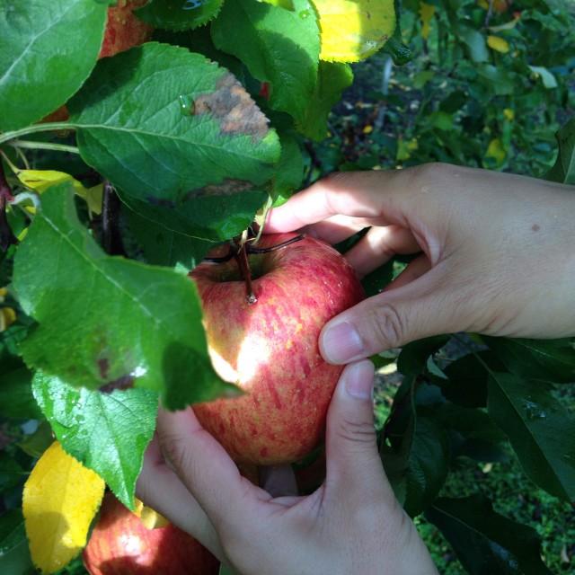 紅葉しているリンゴの葉