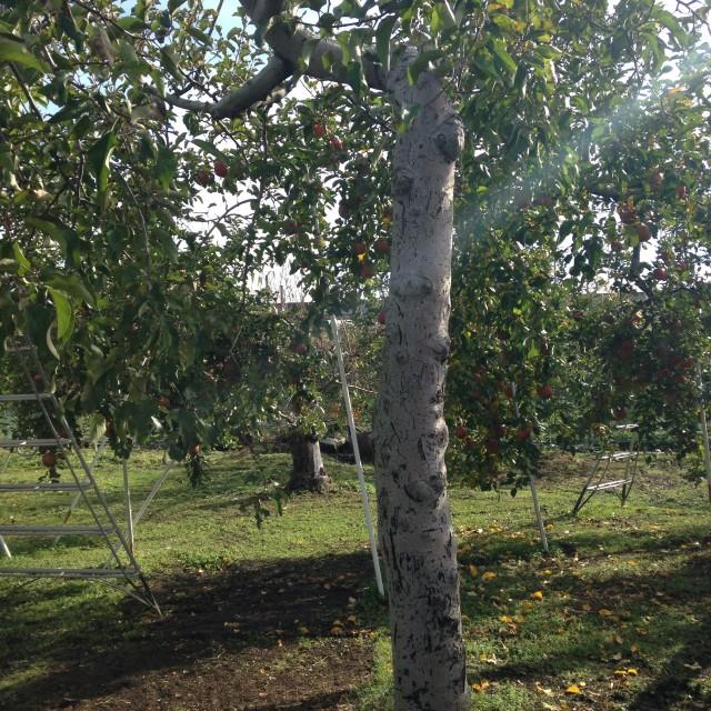 樹齢60年~70年のリンゴの木