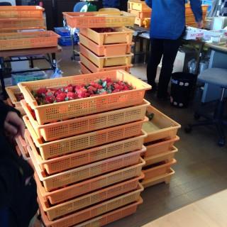 コンテナにたっぷり積まれたイチゴ