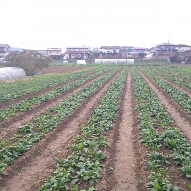 佐藤農園さんのほうれん草畑