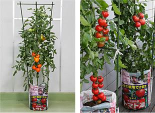 トマトの袋栽培