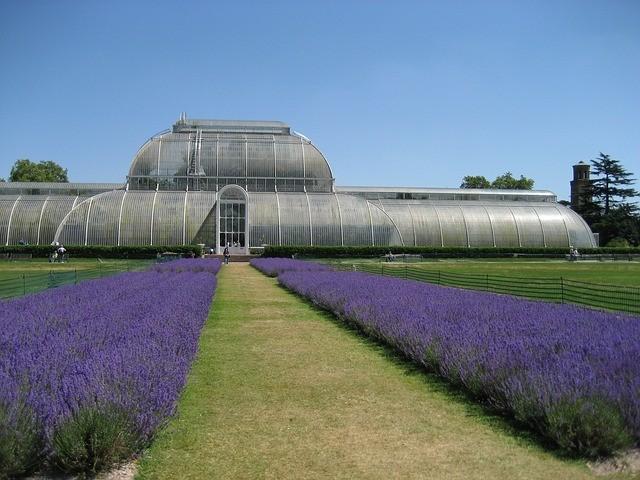 イギリスの王立植物園キューガーデンのラベンダー畑
