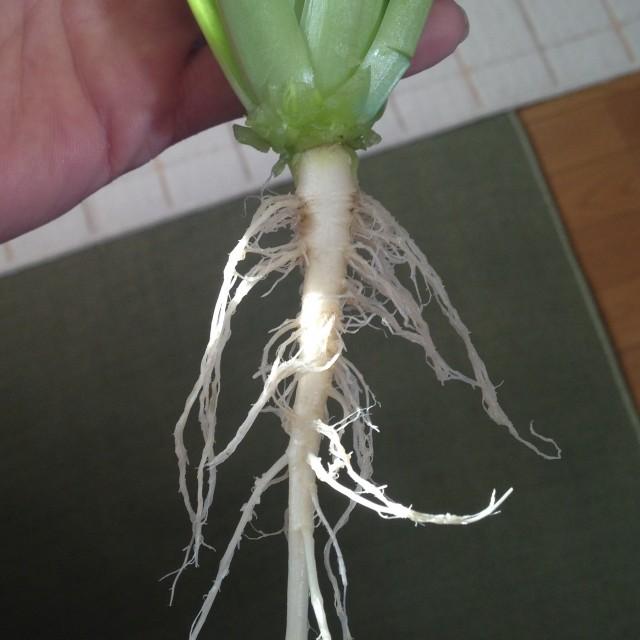 ゆき菜の根っこ