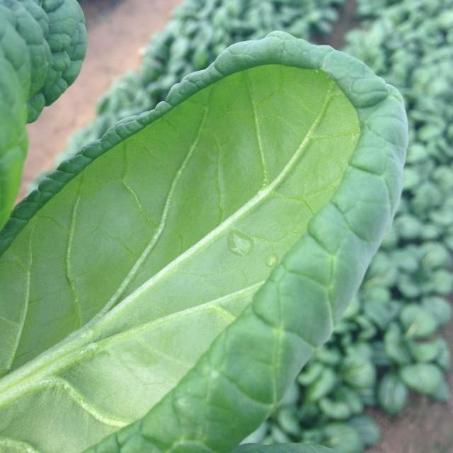 ゆき菜の葉のカーブ