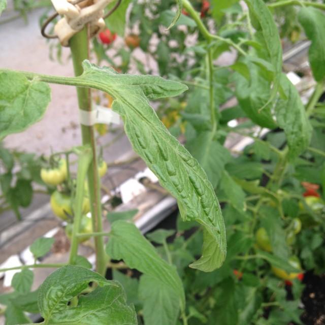 薄くてびろーんと大きいトマトの葉