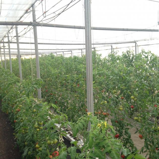 関根さんのトマトハウス
