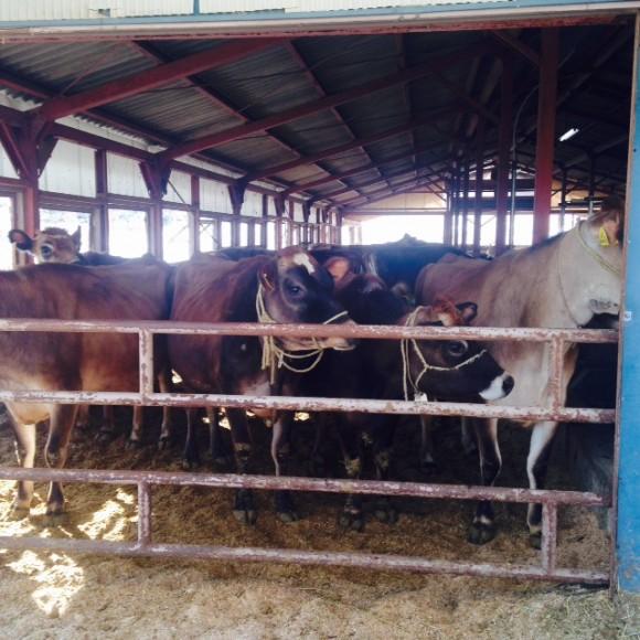 鮫川村のジャージー牛