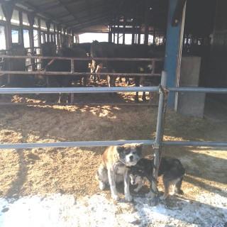鮫川村のジャージー牛牧場の看板秋田犬