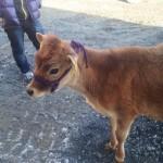 鮫川村のジャージー牛の子牛