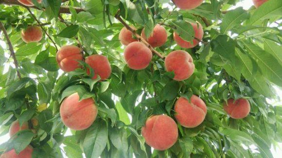 古山果樹園の桃