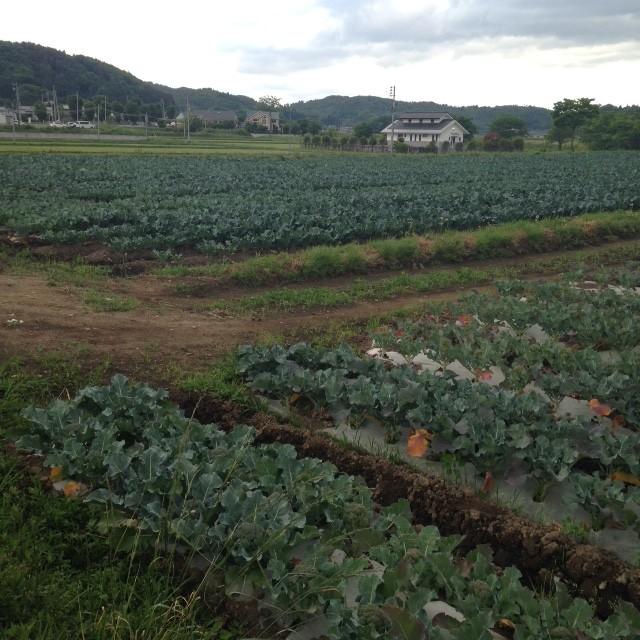 白河市大信のブロッコリー畑