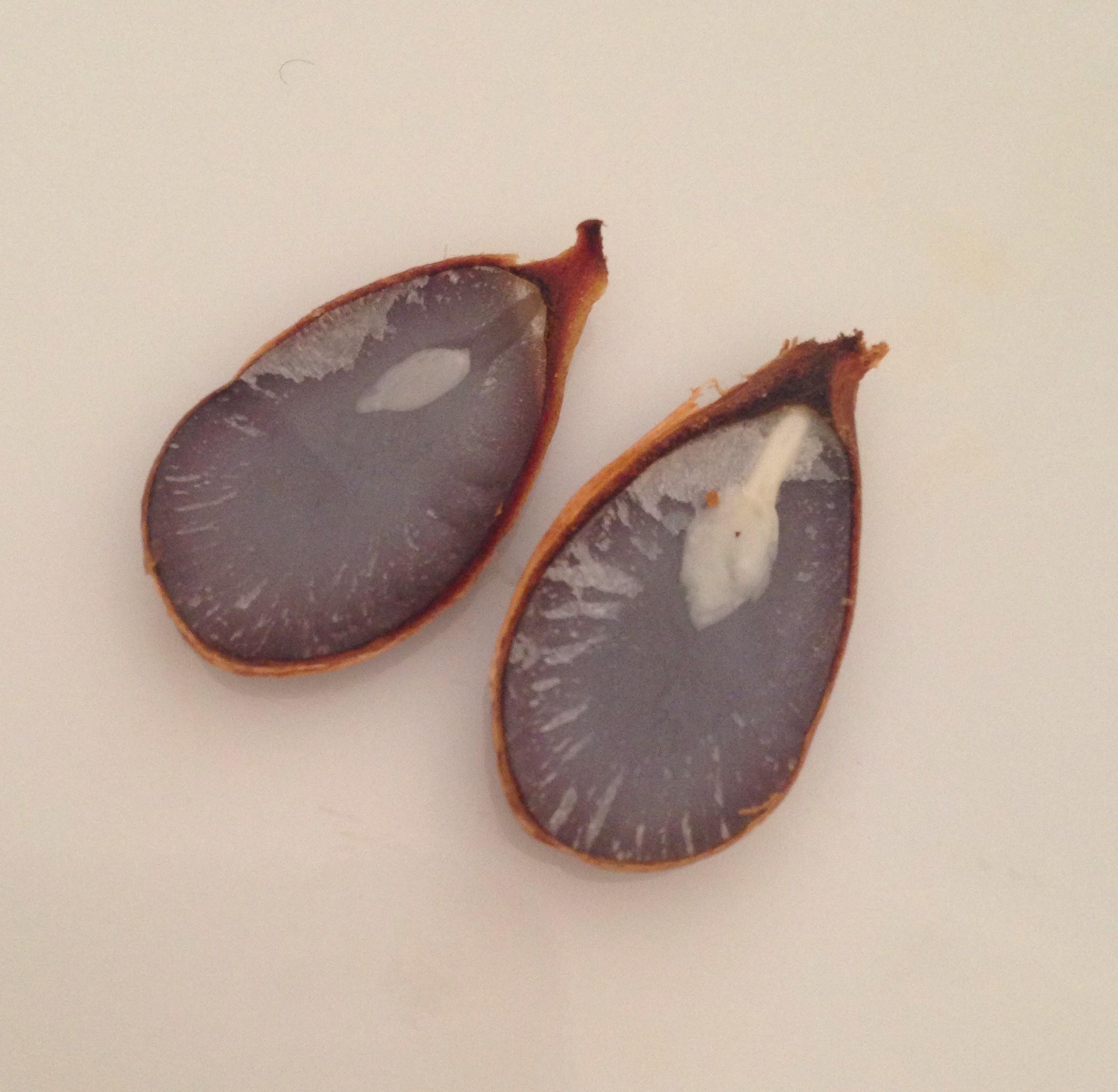 柿の種の断面図